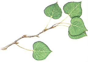 aspen-poplar