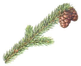 black-spruce