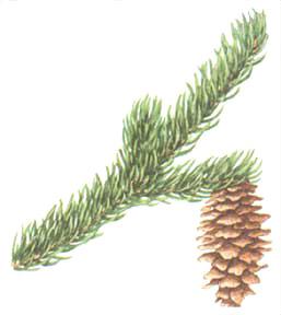engelman-spruce