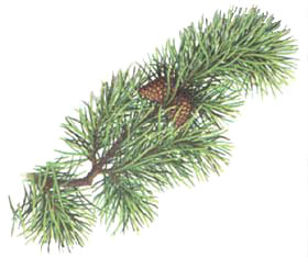 lodgepole-pine