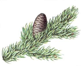 subalpine-fir
