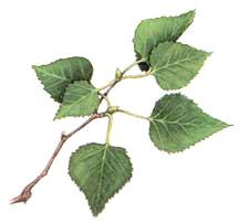 white-birch