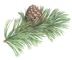 whitebark-pine